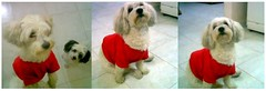 Red t-shirt (kepetate) Tags: red dog cute tshirt hip moby trilogias