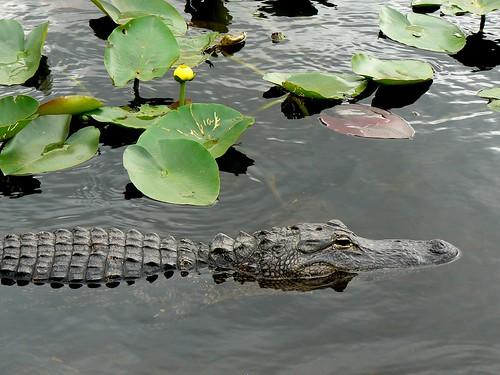 Aligator by ungaro3D.