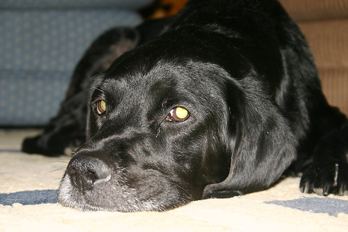 black labrador - Ebony