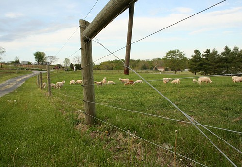 My sheep pasture