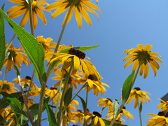 Looking to the Sky (shoffman11) Tags: flowers nature blackeyedsusan