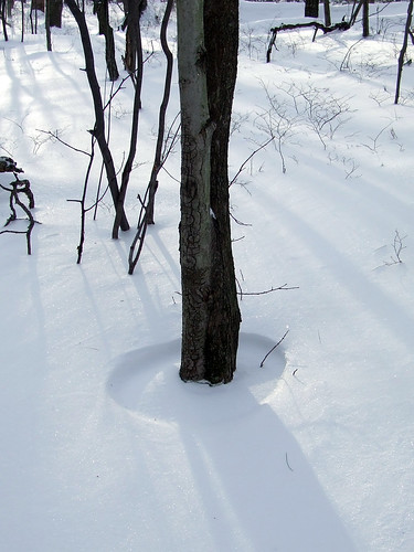 black birch snow ring