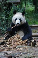 Giant Panda (by ironmanixs)
