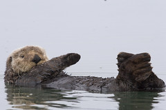 sea-otter-morro-bay_07