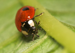 "Two-spot Ladybird (Adalia 2 punctata)(4) • <a style=""font-size:0.8em;"" href=""http://www.flickr.com/photos/57024565@N00/399877928/"" target=""_blank"">View on Flickr</a>"