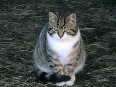 Cute Young Cat 004 (Chrisser) Tags: cats ontario canada nature animal animals cat ourcatcompanions crazyaboutcats olympuscamediac765 bestofcats