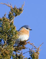Eastern Bluebird (J Gilbert) Tags: newjersey easternbluebird nwr greatswamp sialiasialis sialia specanimal shieldofexcellence