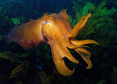 giant cuttle (doug.deep) Tags: underwater sydney australia wideangle scuba diving olympus fins i500 sepiaapama giantcuttlefish qemdadminfave