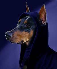 Dobie in da hood (Gravityx9) Tags: dog photoshop altered hearts oneofakind fluffy chop troll doberman fabulous wowie magical ff dobie shiningstar pinscher globalvillage specialeffects 0307 sfx bestinshow ishot smorgasbord aclass global2 americaamerica dirtyword stuffonmypet creativephoto psfo aplusphoto velvetpaws sfxgroup trickerygroup letsshop blueisawesome 030107 wowiekazowie pet100 eyecandyart loldogs excapture mrflibbles pscs2group coloursplosion clevercreativecaptures kingofmyhome psfofamily totalphotoshop yagottastartsomewhere extremest sensationalcreations highqualitydobie