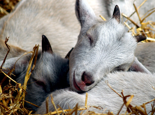 Goat Sleep