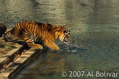 Tiger cub playing with leaf in the water DC Zoo (albolivarphoto) Tags: playing water animals photography cub photo foto image retrato tiger picture pic fotografia imagen wildanimals tigercubs tigercub dczoo albolivarphoto albolivarcom httpflickrcomphotosalbolivarphoto wwwalbolivarcom httpwwwalbolivarcom