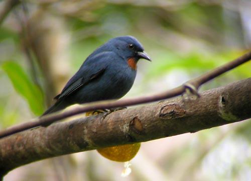 Orangequit, male