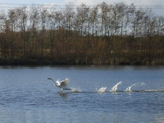 Flight (Lidwit) Tags: lake nature water beautiful birds geotagged scotland pond wildlife north swans fav loch cumbernauld lanarkshire naturescene broadwood