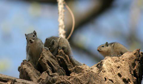 Squirrels Lalbagh 7 mar 07 one
