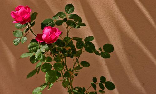 "Rosa ""Sultan"""