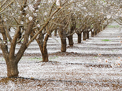 Almond Petal Snowfall (BlueOakPhotos) Tags: california flowers white petals blossoms orchard centralvalley sacramentovalley blueoakphotos