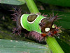Little monster (AniSuperNova83) Tags: animal weird exotic worm gusano extraño specanimal abigfave impressedbeauty supernova83