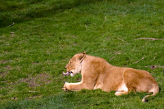 Going to see the lions :-) (( I was ) Lost in Tokyo) Tags: uk england lion angleterre longleat safaripark