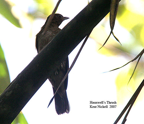 Hauxwell's Thrush (Turdus hauxwelli)