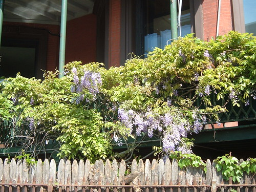 Promenade wisteria