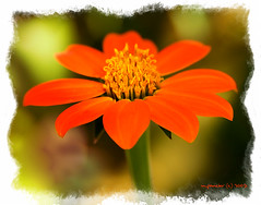 Sweetest Perfection (Michael Pancier Photography) Tags: flowers orange macro nature flora florida digitalart fineartphotography naturephotography seor butterflyworld naturephotographer floridaphotographer pancier michaelpancierphotography closeupmichaelpancier wwwmichaelpancierphotographycom seorcohiba