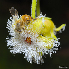 Bee on Stapelia glanduliflora flower (Martin_Heigan) Tags: camera flower macro nature digital insect southafrica succulent nikon dof close martin bokeh quality bee photograph d200 dslr excellence westerncape stapelia pollination asclepiadaceae clanwilliam naturesfinest 60mmf28micro supershot asclepiad stapeliad specnature nikonstunninggallery heigan colorphotoaward isawyoufirst qemdfinchadminfave glanduliflora natureselegantshots mhsetinsects mhsetstapeliads mhsetflowers