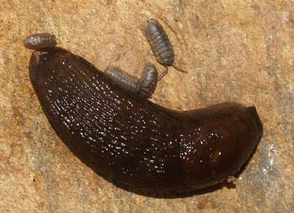 slugs&isopods2