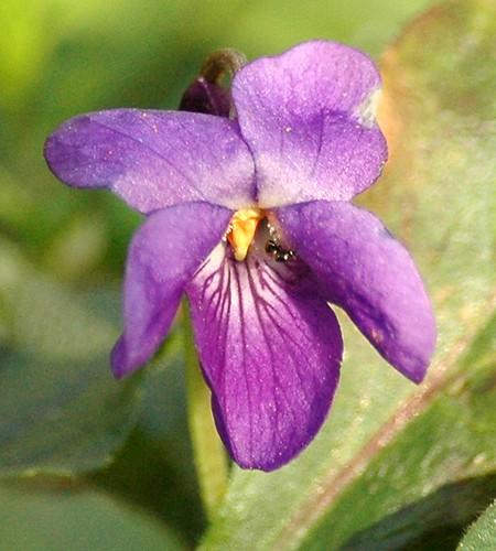 Viola odorata - immagine tratta dal web (Flickr by AnneTanne)