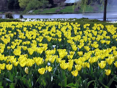 Yellow Tulip Field