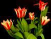 Tulips (Vanda's Pictures) Tags: vanda impressedbeauty 1on1colorfulphotooftheday wowiekazowie 1on1colorfulphotoofthedayapril2007
