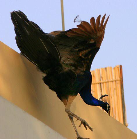 Peacock Jump 6