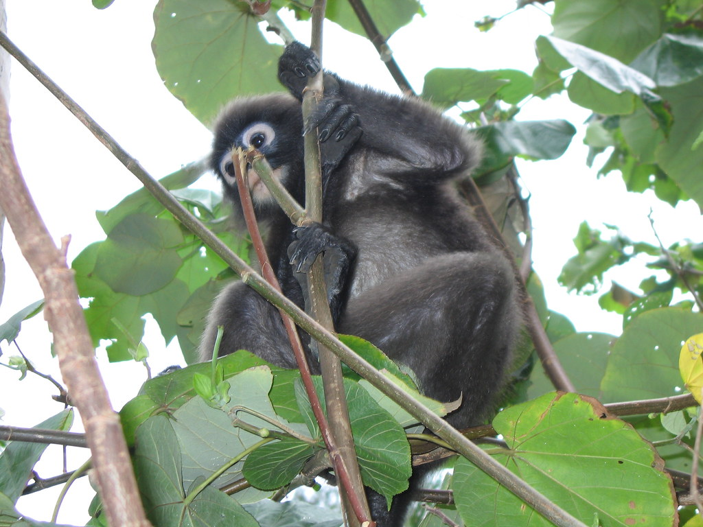 purple faced leaf monkey