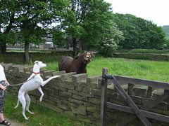 Polly N Kitty (shoot rampton) Tags: life horse hairy dog greyhound white silly cute home animal crazy funny gorgeous fast pony lazy stupid muppet daft chilled