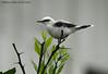 Masked Water-Tyrant (Michael Woodruff) Tags: foothills bird birds ecuador birding lowlands masked maskedwatertyrant fluvicolanengeta fluvicola watertyrant nwecuador riosilanche