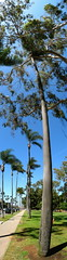 Disappearing Palm (EricByers) Tags: autostitch stitch sandiego panoramic palmtree calico eucalyptus balboapark verticalstitch verticalpanoramic