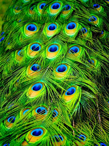 Peacock Plumes