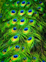 Peacock Plumes (Erik K Veland) Tags: colour birds animals topf75 vibrant feathers australia peacock olympus sharp explore qld queensland mostfavorited e300 peafowl pavoreal plumes dyr surfersparadise plume pavone goldcoast pavo paon pfau pauw vibrancy  indy300 interestingness96 cotcmostfavorited pfugl amazingcolor abigfave  impressedbeauty superaplus aplusphoto flickrplatinum 200750plusfaves superhearts krishlikesit colourartaward artlegacy  vosplusbellesphotos