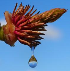 .............drops flower (Truus) Tags: water drops magnolia druppel spelen truus toevallig instantfave diamondclassphotographer