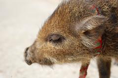 [フリー画像] [動物写真] [哺乳類] [猪/イノシシ] [うり坊/ウリボウ] [目を閉じる]      [フリー素材]