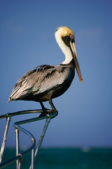 I'm King of the World (Trevor Smiley) Tags: ocean bird water mexico boat lenstagged pelican 70300mmf4556gvr afsvrzoomnikkor70300mmf4556edif nikon70300mmf4556