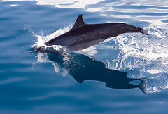 Dolphin in Papua New Guinea