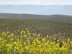 Cinco capas (profsegovia1) Tags: naturaleza flor jaen cazorla olivo jaramago