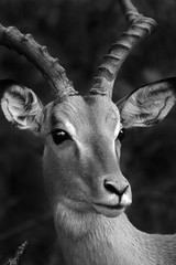 Portrait of an Impala - by Deeble