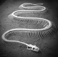 Dem Bones.. Dem Bones ... Dem Snake Bones (!Shot by Scott!) Tags: birthday white black topf25 water skeleton pond snake champagne australia peanuts banana photograph chase bones bling slippers mlb scottlewis allrightsreserved nohdr plentyoffish  shotbyscott  scottlewis shotbyscottlewis youdonothavetherightstousethisphoto ifyoustealthisimageiwillfindyouandletmypackofwilddingoseatyourfamily cashforclunkers yahoosearchtags randontagstoseeifitaffectsmystats youdonthavetocanon
