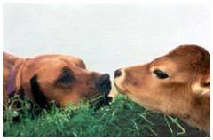 dog-calf