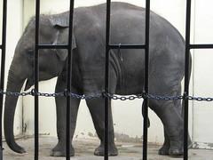 Elephantine Wee Wee (Gunboats) Tags: elephant penis zoo washingtondc