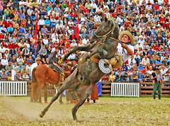 Se cayendo (Eduardo Amorim) Tags: horses horse southamerica caballo uruguay cheval caballos cavalos prado montevideo pferde cavalli cavallo cavalo gauchos pferd hest hevonen chevaux gaucho  amricadosul montevidu hst uruguai gacho  amriquedusud  gachos  sudamrica suramrica amricadelsur  sdamerika jineteada   americadelsud abigfave gineteada anawesomeshot  americameridionale semanacriolla semanacriolladelprado eduardoamorim