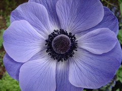 Anemone (Deb and Dave) Tags: pictures favorite flower macro texture nature beautiful closeup poster yahoo interestingness spring google interesting bravo flickr power purple natural screensaver photos pics background blues images explore anemone contacts centered elegance hillegass purples googleimages onflickr stumbleupon blueribbonwinner ontheroadagain interestingness6 i500 flickrsbest masterphotos abigfave anawesomeshot colorphotoaward impressedbeauty yahooimages superbmasterpiece scenesfromtheroad elpasojoesplace debanddave flickrexplorephotos top40mostviewedonflickr top40favoritesonflickr flickrphotosonyahoo flickrimages