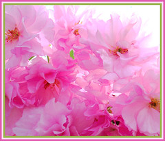 The definition of pink (Claudia1967) Tags: pink flowers eye colors backlight spring searchthebest joy happiness definition 50 soe 1000 i20 excellence blueribbonwinner explorepage interestingness20 i500 i100 flickrsbest 50plusfaves mywinners abigfave shieldofexcellence colorphotoaward impressedbeauty 200750plusfaves goldenphotographer ithinkthisisart diamondclassphotographer flickrdiamond explore20070426 claudia1967