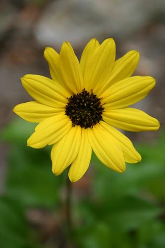 Florida native: Beach sunflower